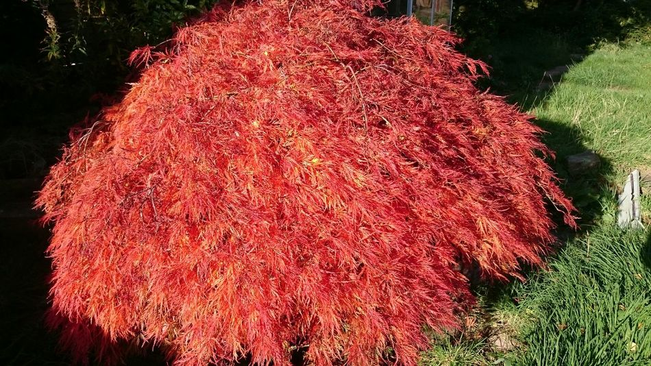 Japanese acer in stoke, Flowers,Plants & Garden Plants And Flowers Autumn Leaves Japenese Acer Home And Garden