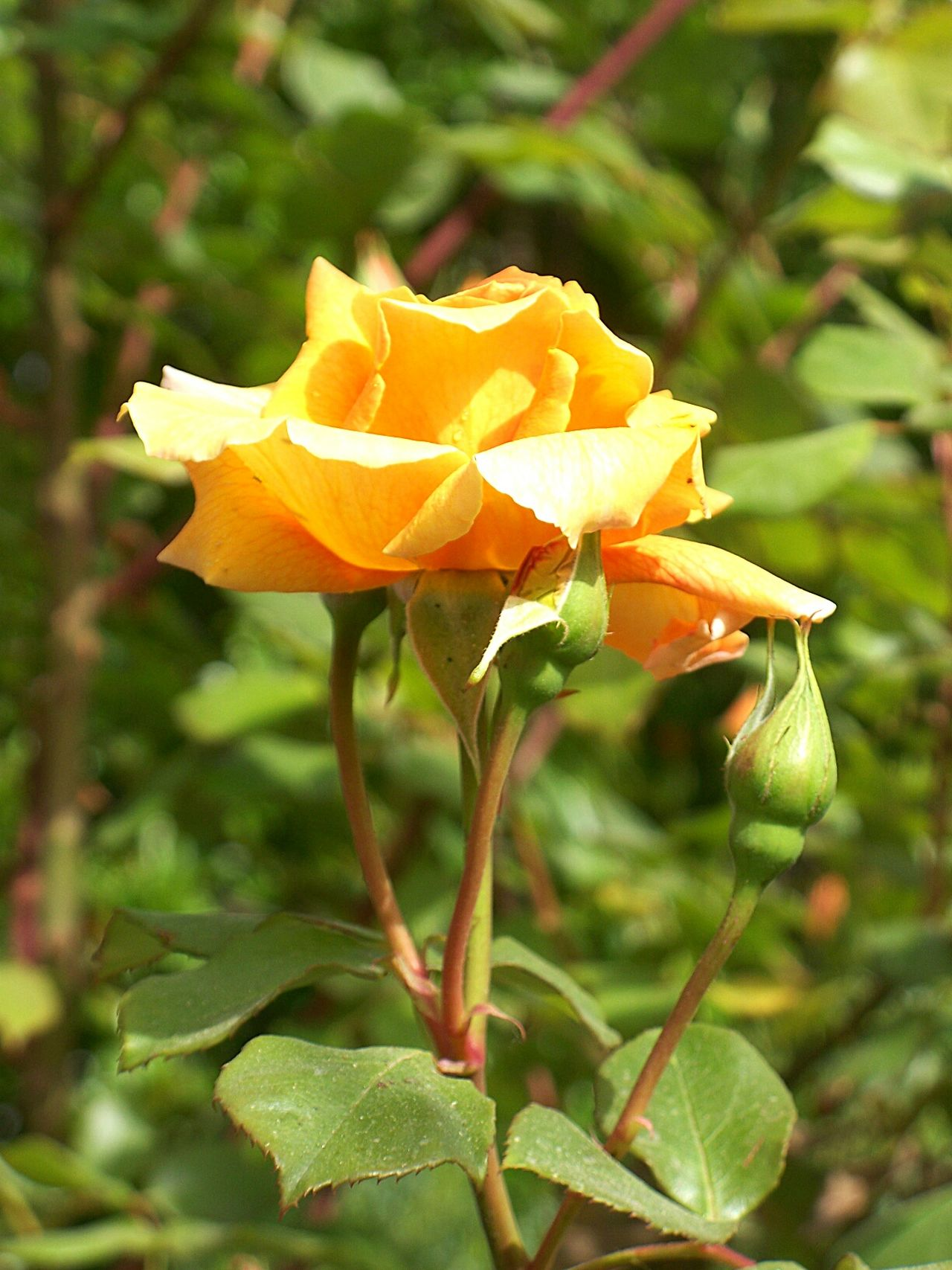 Flower Yellow Nature Beauty In Nature Roses🌹 Yellow Flowers Yellow Rose Rose♥ Rosé Green Color Greenleaves Green Leafes