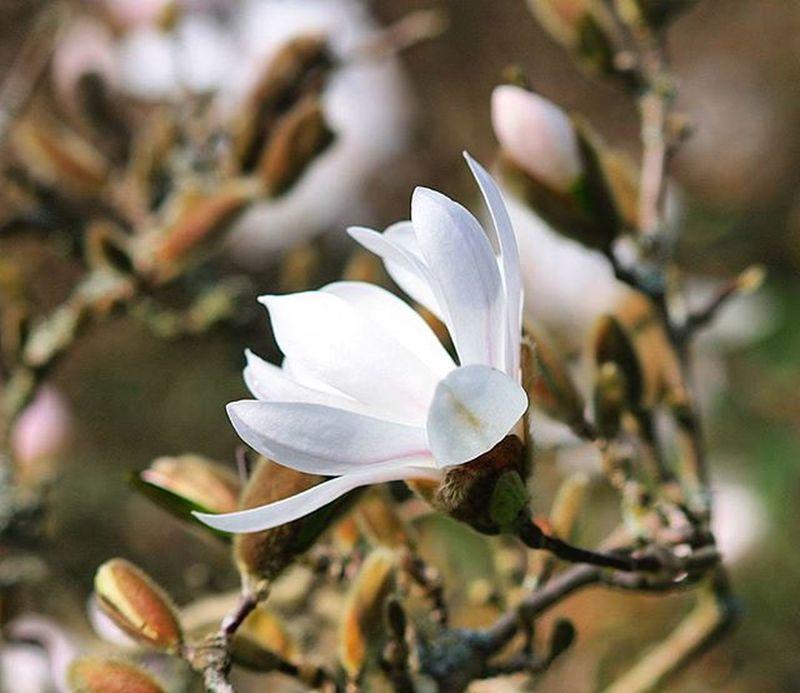 Magnolia Spring Alnarp InTheGarden Garden Enjoylife Flowers White Picofthemoment Picoftheday