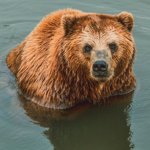 Bear Grizzly Bear Water One Animal Animal Wildlife Brown Wet No People Animal Themes Nature Animals In The Wild Lake Outdoors Photo Of The Day Photography Photoshop Photoart Photographer Photoshoot Model Close-up Outdoor Photography Portrait The Great Outdoors - 2017 EyeEm Awards