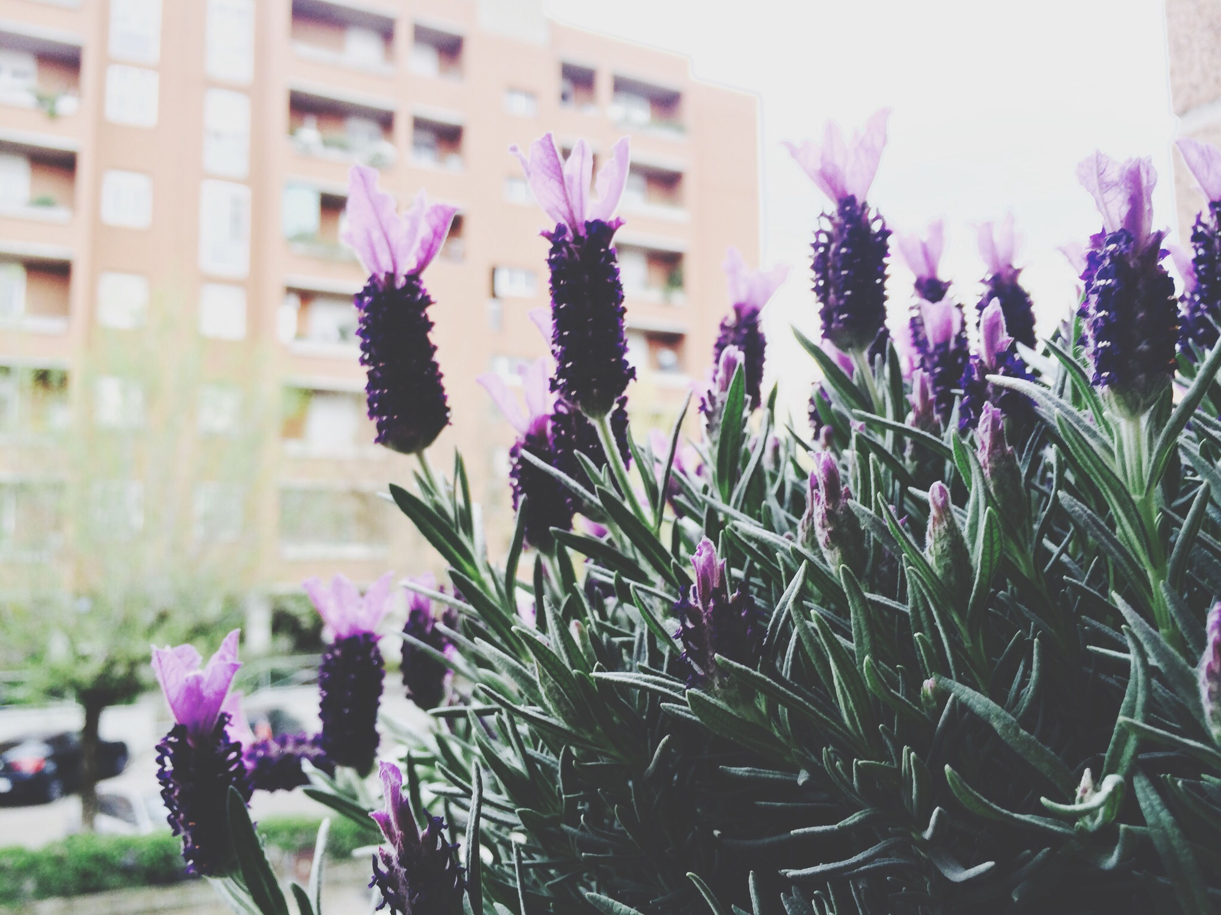 flower, growth, freshness, fragility, plant, purple, blooming, petal, building exterior, beauty in nature, flower head, focus on foreground, nature, close-up, built structure, architecture, sunlight, day, in bloom, outdoors