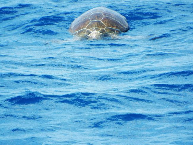 Giant turtle swimming in the sea Giant Turtle Sea Mediterranean Sea On The Way Day Trip Tourism Travel Destinations Tourist Attraction  On A Boat Blue Water Beauty In Nature Boat Trip Travel Photography Animal Sea Life Sealife Sea Animal