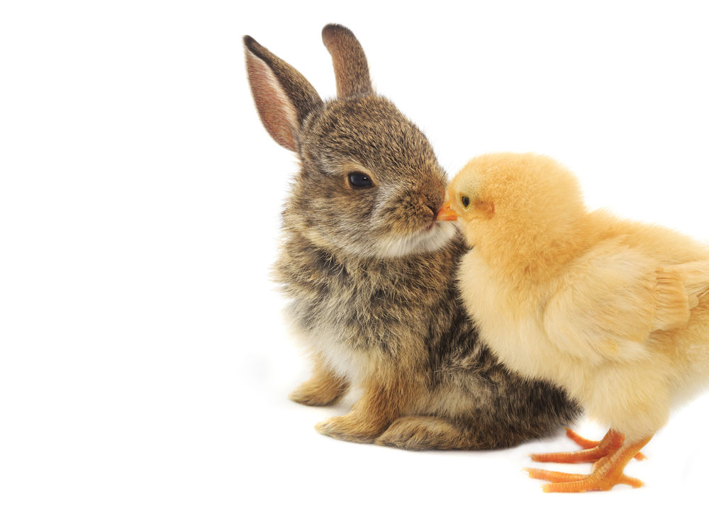 So cute Bunny Love Chicks Pets Of Eyeem Chickens Are Pets Lovelovelove Kissing Baby Animals Baby Chicks Baby Bunnies Cottontail Best Friends Friendship Friends Cute Cute Pets Cutest Baby Ever Animals Easter Ready Easter Easter Bunny Easter