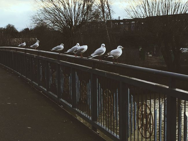 Bird Life. Bird Animals In The Wild Wildlife Vertebrate Zoology Perching Built Structure Flock Of Birds Railing Sky Architecture Building Exterior Tranquility Seagull Day Avian Water Nature Outdoors IPhoneography NewWorldOrder FVCKPhotography