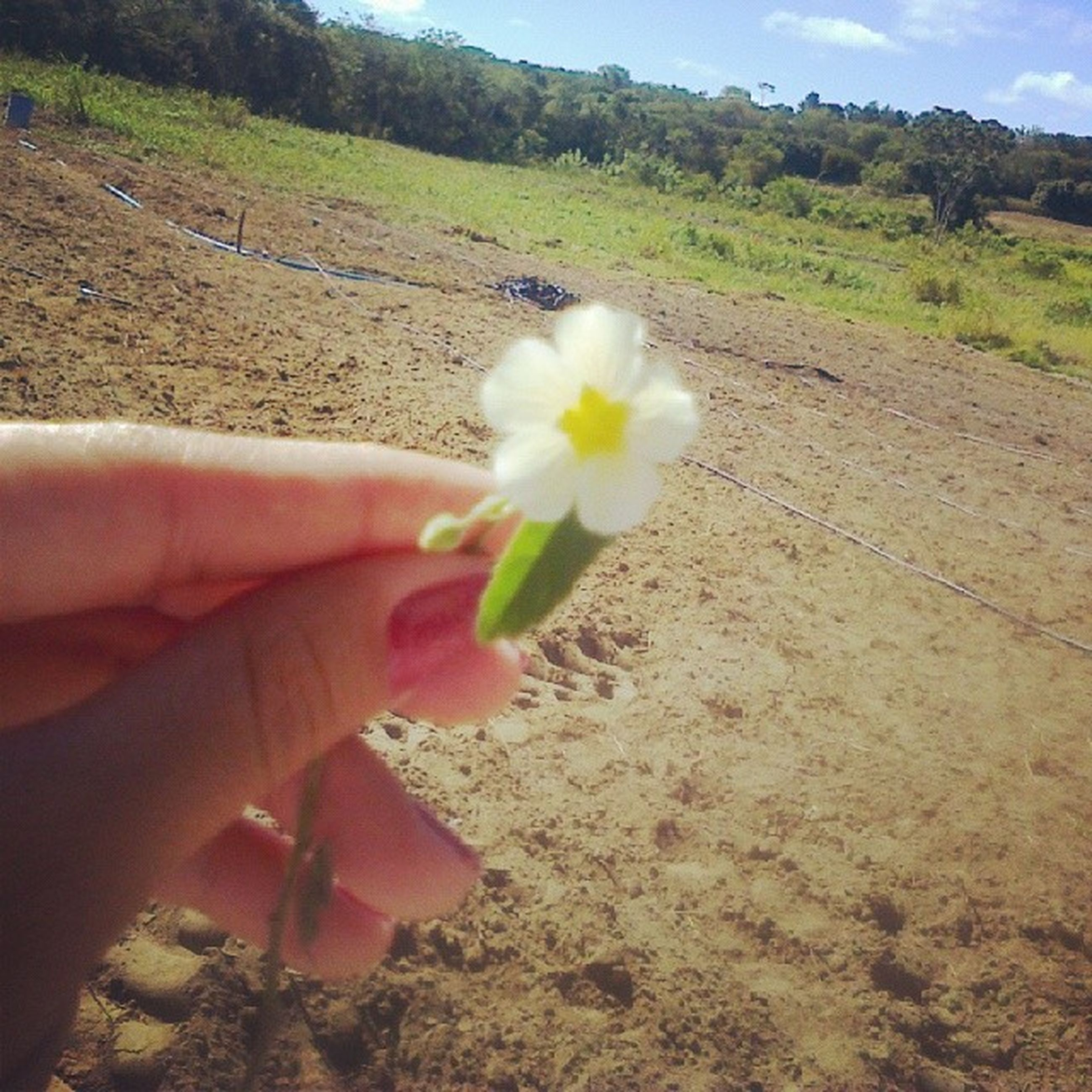 flower, person, holding, fragility, petal, flower head, freshness, part of, personal perspective, unrecognizable person, beauty in nature, nature, leisure activity, single flower, lifestyles, growth, field