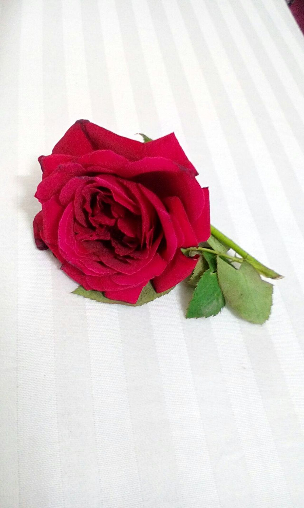 love someone as deep as the color of this rose. Rosé Love Red Deep Flower Petal Flower Petal Rose - Flower Freshness Red Flower Head Fragility Rosé Beauty In Nature Single Flower Indoors  Close-up Table Nature Curled Up Vibrant Color Blossom No People Botany