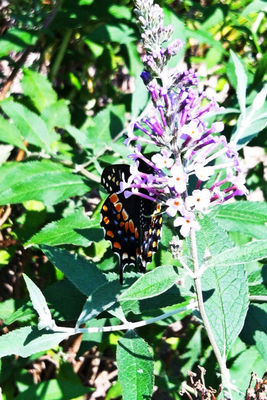 butterfly in Westerville by Payton Barnett