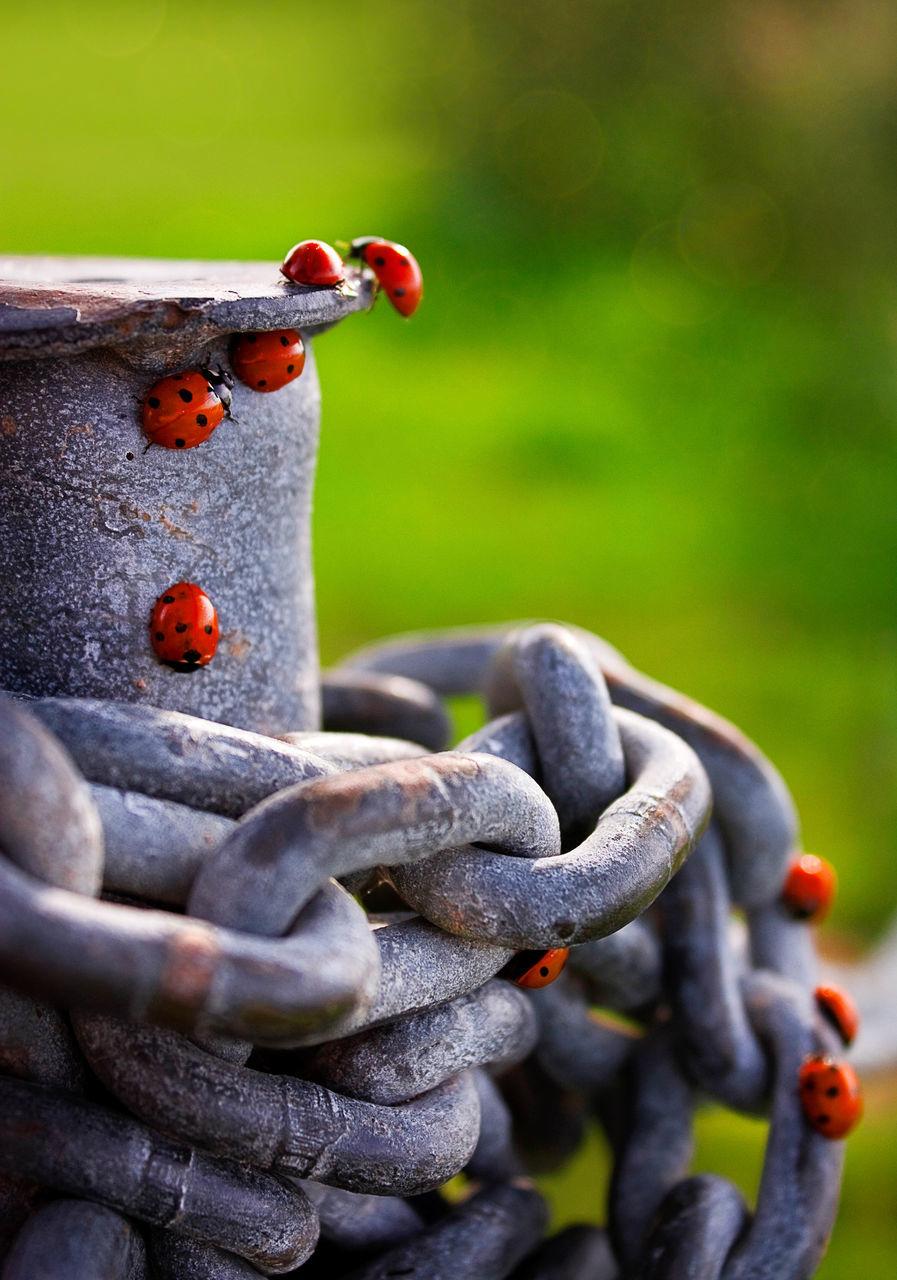 Red Ladybugs On Metallic Chains