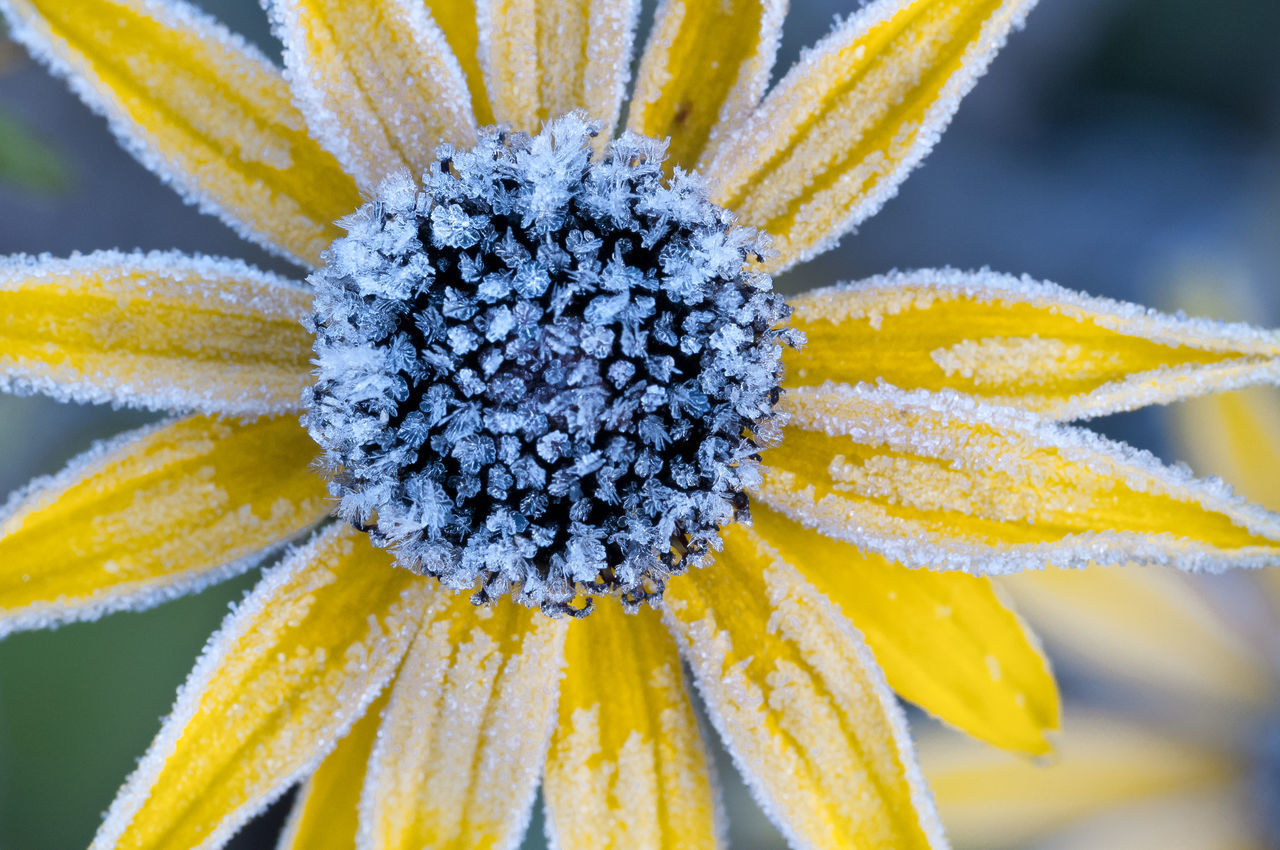 The frozen yellow flower Frozen Garden Flowers Ice Paint The Town Yellow Beauty In Nature Bert Blooming Close-up Cold Cristals Driebe Flower Flower Head Fragility Freshness Garden Nature Outdoors Petal Plant Winter Yellow