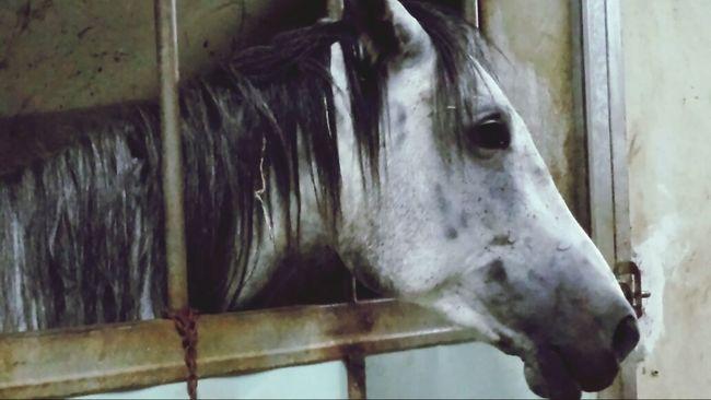 White horse Horse Animal Agritourism