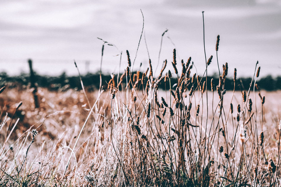 Beauty In Nature Cattail Cereal Plant Close-up Day Field Focus On Foreground Freshness Grass Growth Nature No People Outdoors Plant Scenics Sky Tranquil Scene Tranquility Water