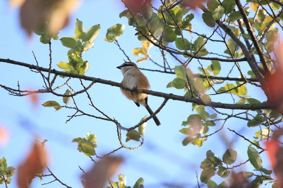Bird Birds Shrike モス 百舌 百舌鳥 野鳥 鳥