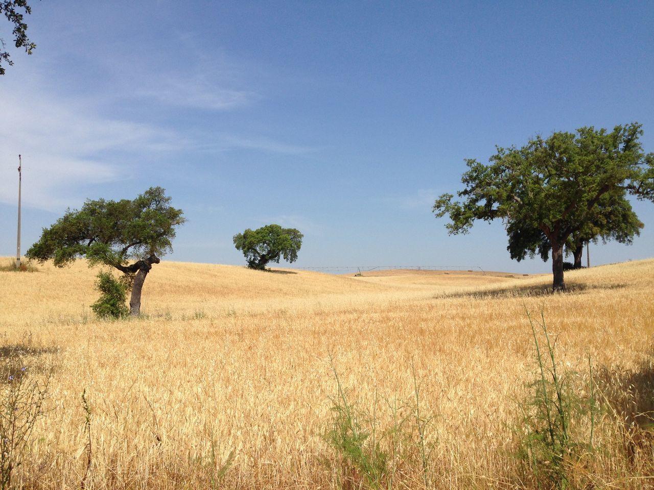 Cork Trees Field Landscape Summer