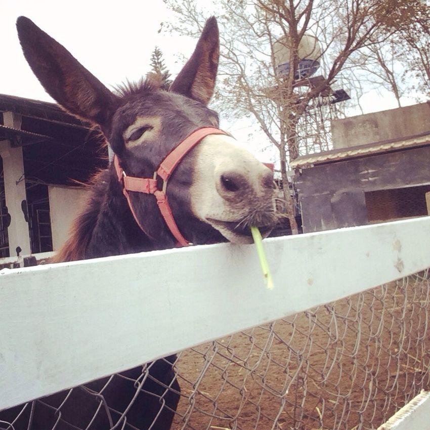 賊賊又滿足的 Donkey
