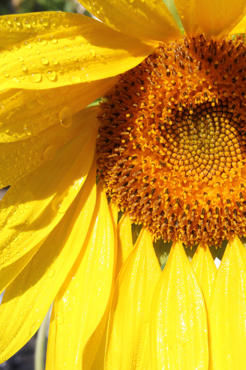 Cropped Image Of Sunflower Blooming Outdoors