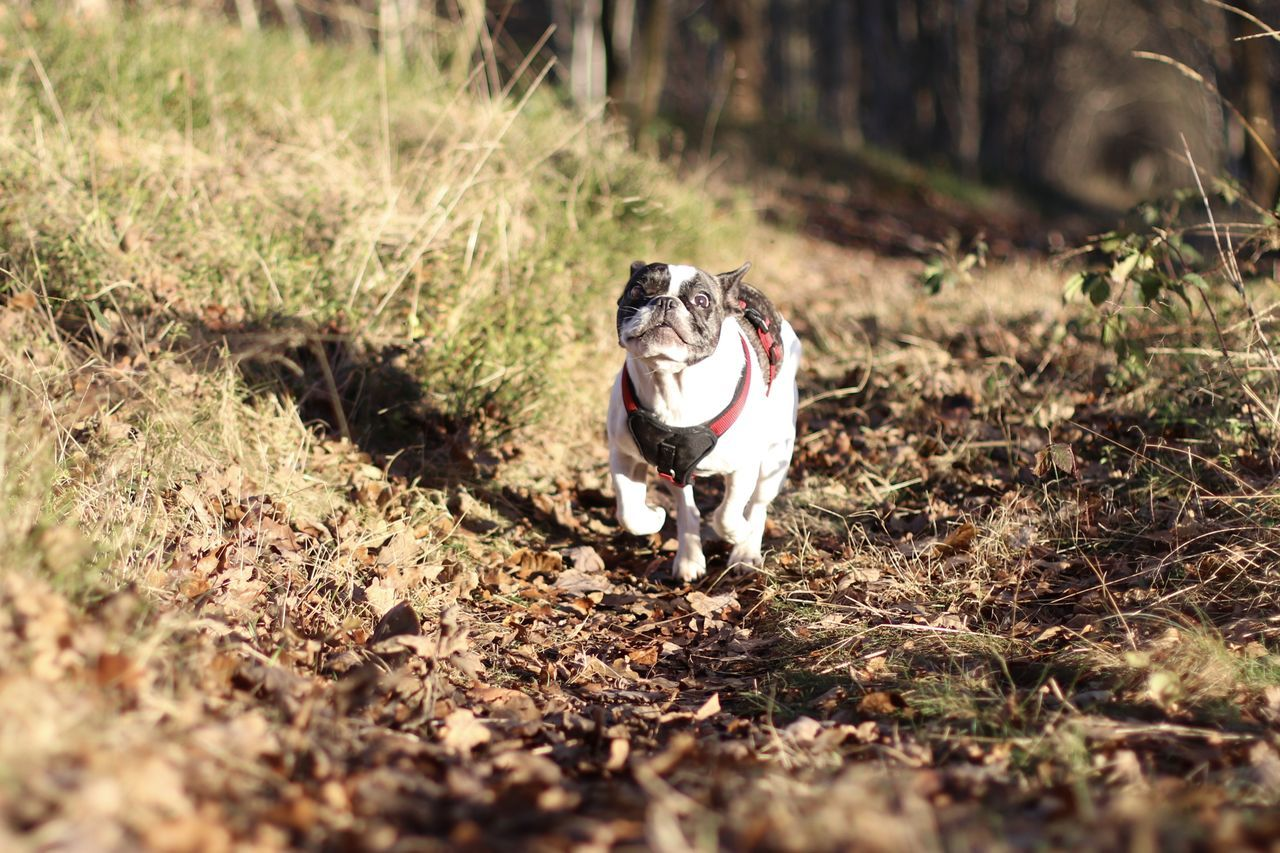 Bulldog Bulldog Francese Bulldog Francés Bulldog Français Bully Dog Dog In The Forest Dog In The Woods Dog Outside Französische Bulldogge  Französische Bulldogge Im Wald French Bulldog Frenchbulldog Frenchie Hund Hund Im Wald In The Forest In The Woods Niedlicher Hund Outdoors Spaziergang Sweet Dog  Winter Sun Wintersonne