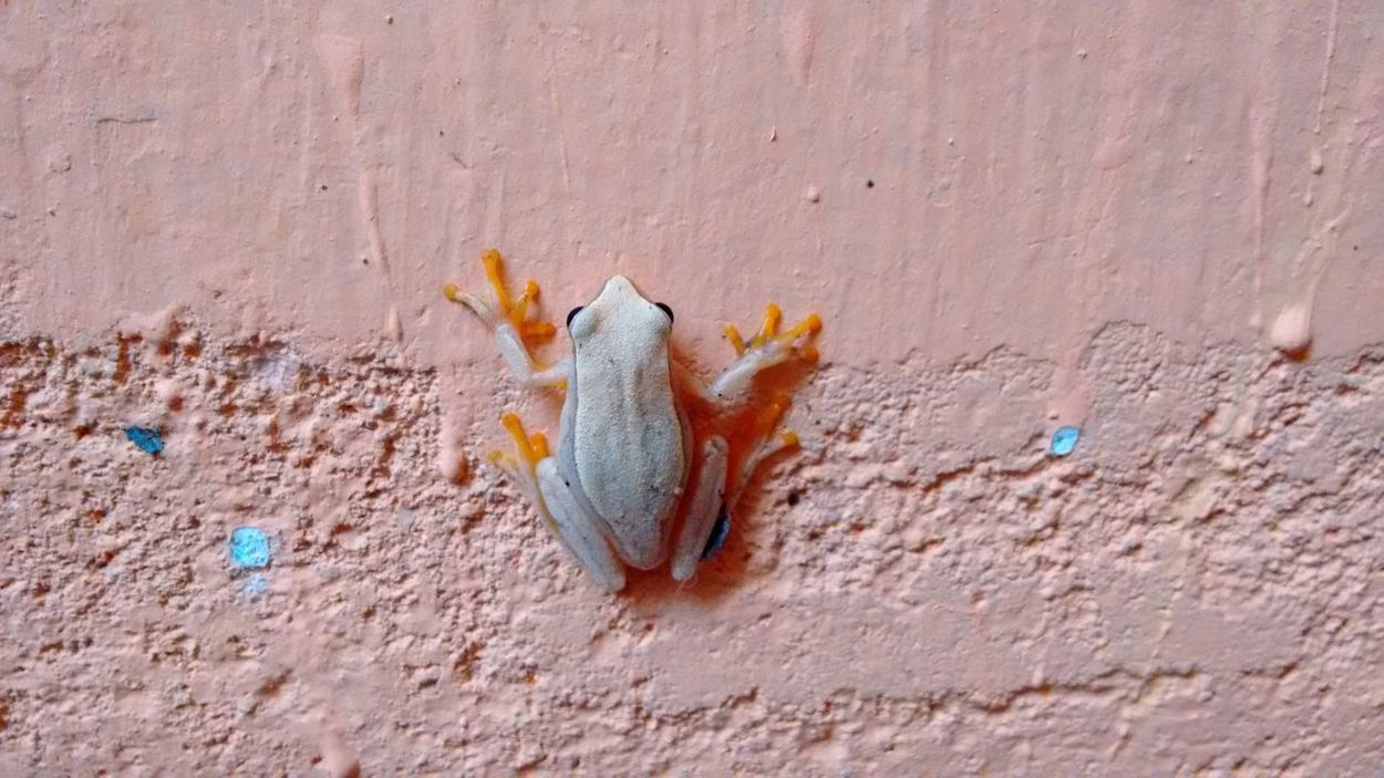 Frog in home Outdoors Day No People Multi Colored Nature Close-up Frog Yellow Frog Anfibio No Filter, No Edit, Just Photography Animal Themes Frogs Of Eyeem EyeEm Animal Lover AnfibiosOrdinarios Fresh On Market 2017
