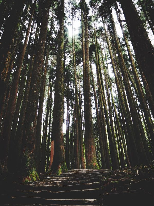 Tree Trunk Forest Growth Tree WoodLand Low Angle View Wilderness Walk This Way Forest Photography Forestwalk Forest Path Forest Trees Forest Walk Wood Deep Forrest Deep Woods Stairs Stairsandsteps Stairways Stone Stairs Alishan Alishan,Taiwan Taiwan