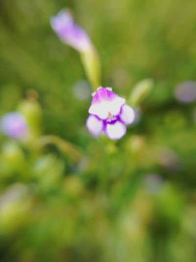 Flower Nature Beauty In Nature Purple Freshness Pink Color Fragility Petal Close-up Plant Growth No People Flower Head Outdoors Day