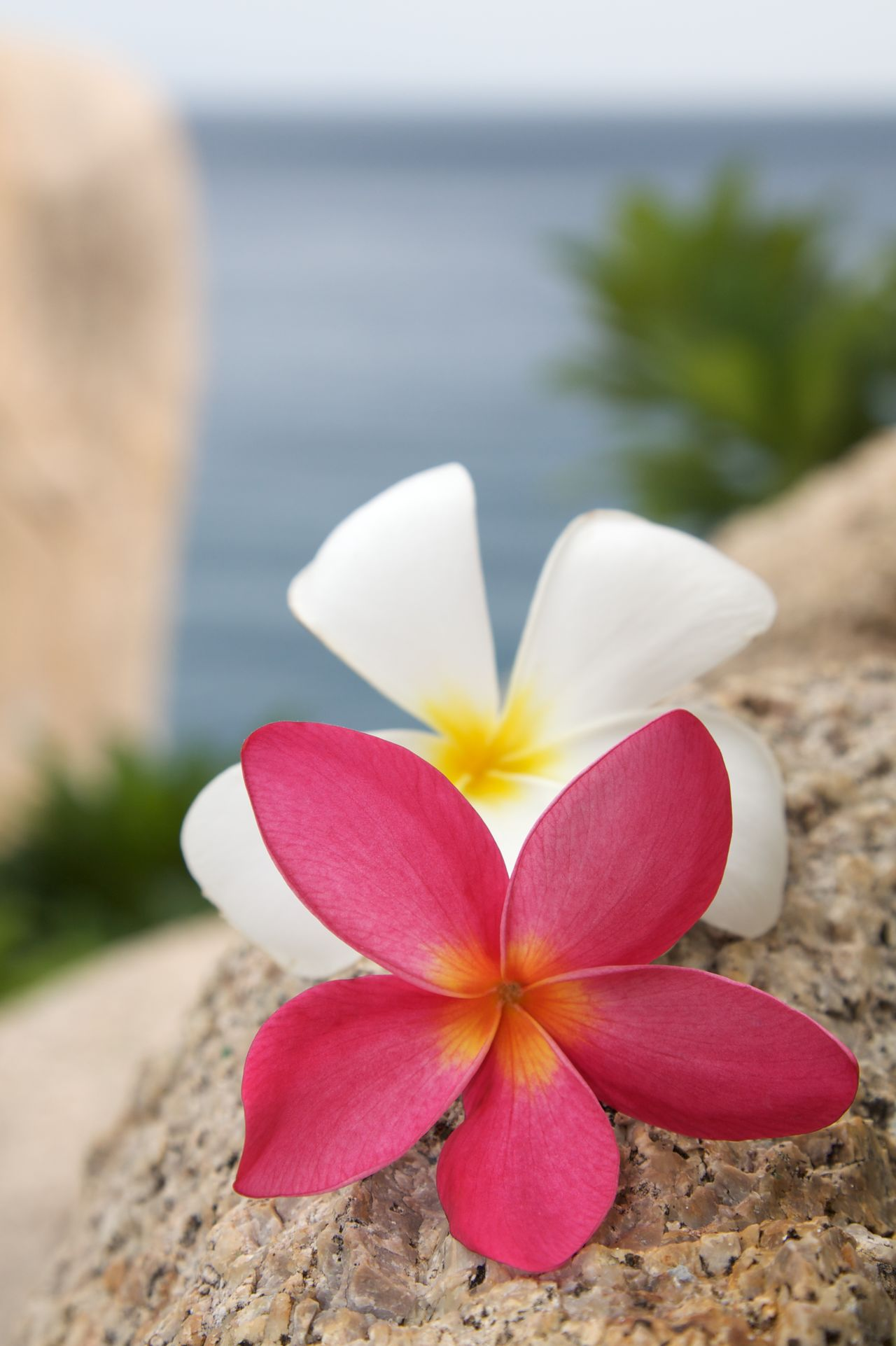 They are not only beautiful - can't get enough of their smell Beach Beauty In Nature Beauty In Nature Beauty Of Nature Blossom Blossoms  Close-up Colorful Colorfull Day Flower Head Focus On Foreground Frangipani Frangipani Frangipani Flower Nature No People Ocean Outdoors Pink Color Plumeria Plumeria Flowers Rocks White Flower