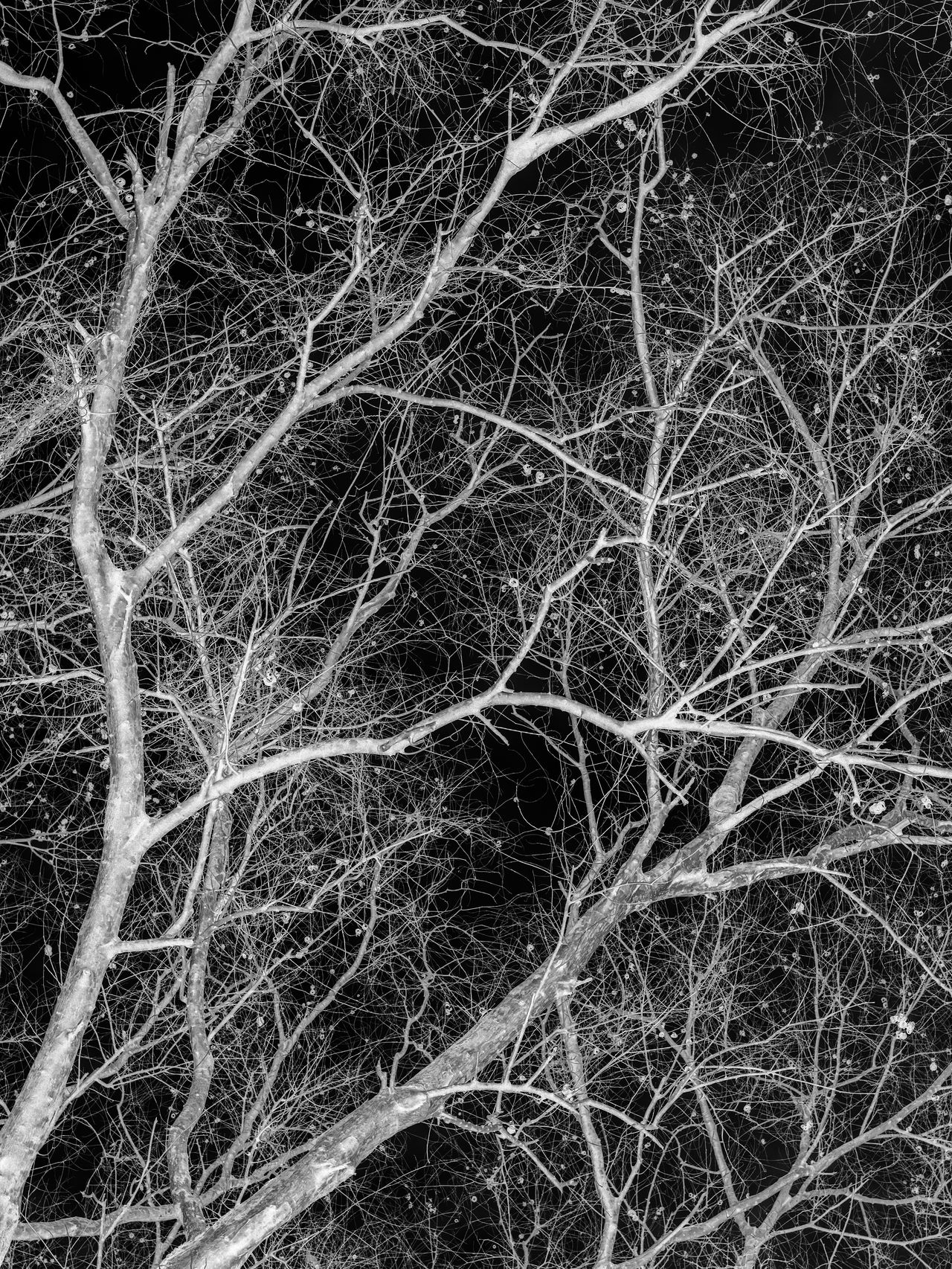 Low angle view of silhouette of bare trees and dry parasitic vines covering the canopy. In black and white. Abstract Artistic Black And White Branches Dependency Died High Contrast Life Low Angle View Parasitic Plant Relationships Silhouette Vine Withered