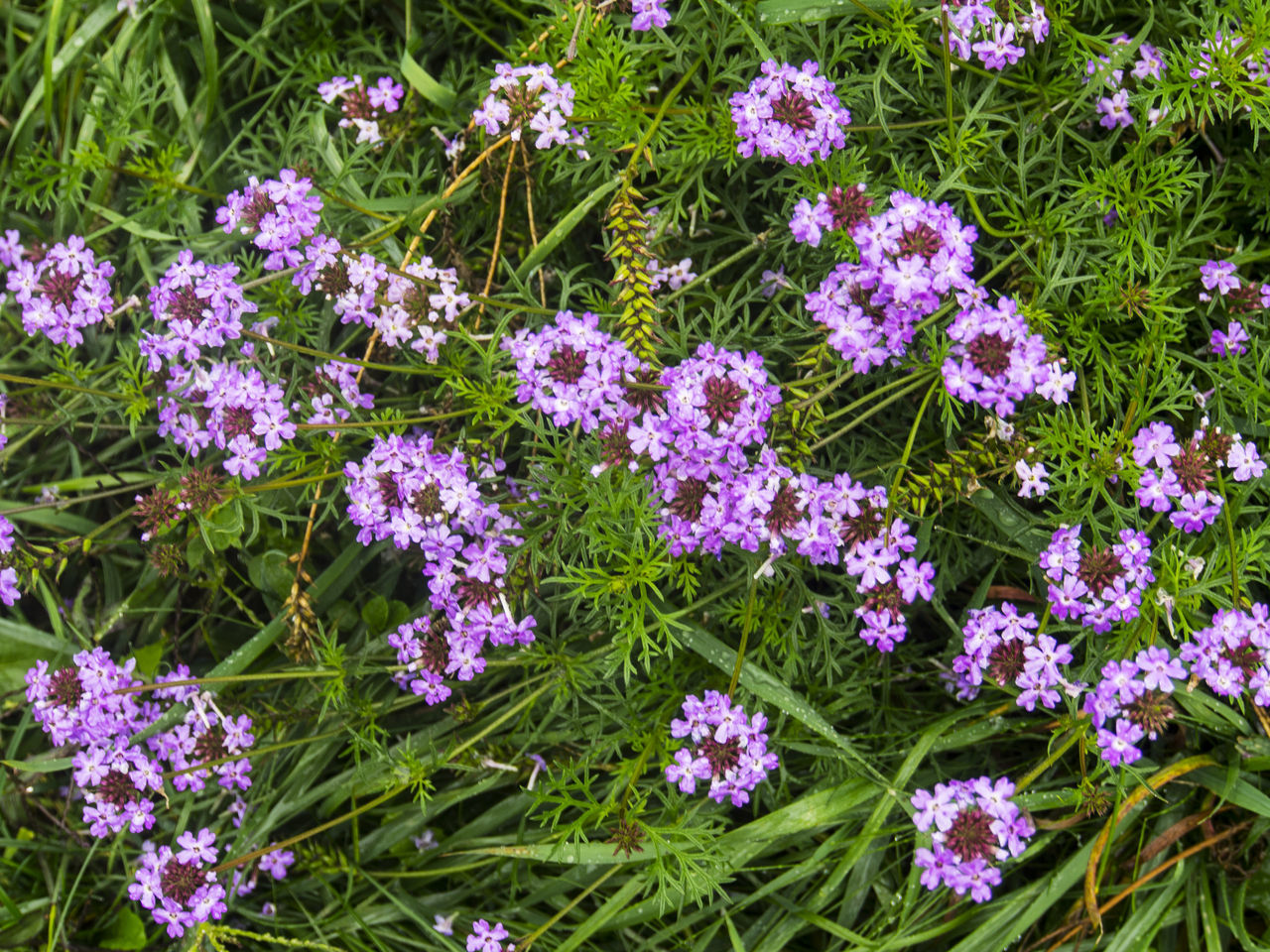 Lobularia maritima, common name sweet alyssum or sweet alison Alison Alyssum Beauty In Nature Blooming Botany Day Flower Flower Head Fragility Freshness Full Frame Green Color Growth High Angle View In Bloom Lobularia Maritima Nature Outdoors Petal Pink Color Plant Purple Springtime Sweet