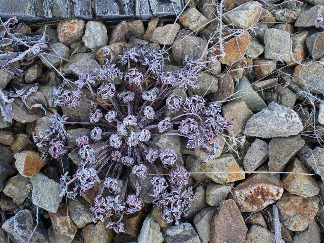 Backgrounds Close Up Close-up Detail Frost Frosty Mornings Gravel Ice Crystals Plant Plant Life Purple Winter Winter Wonderland