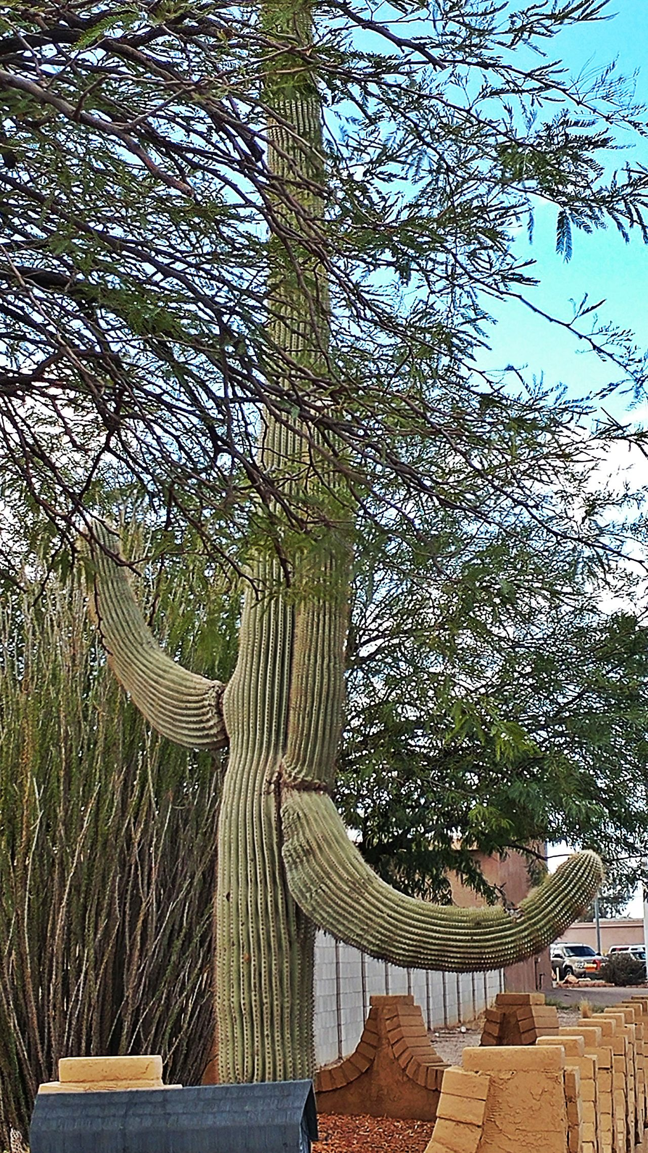 cactus Tree Nature Growth No People Day Beauty In Nature Outdoors Sky Tranquility Scenics EyeEm Gallery EyeEm Best Shots Check This Out Casa Grande Az