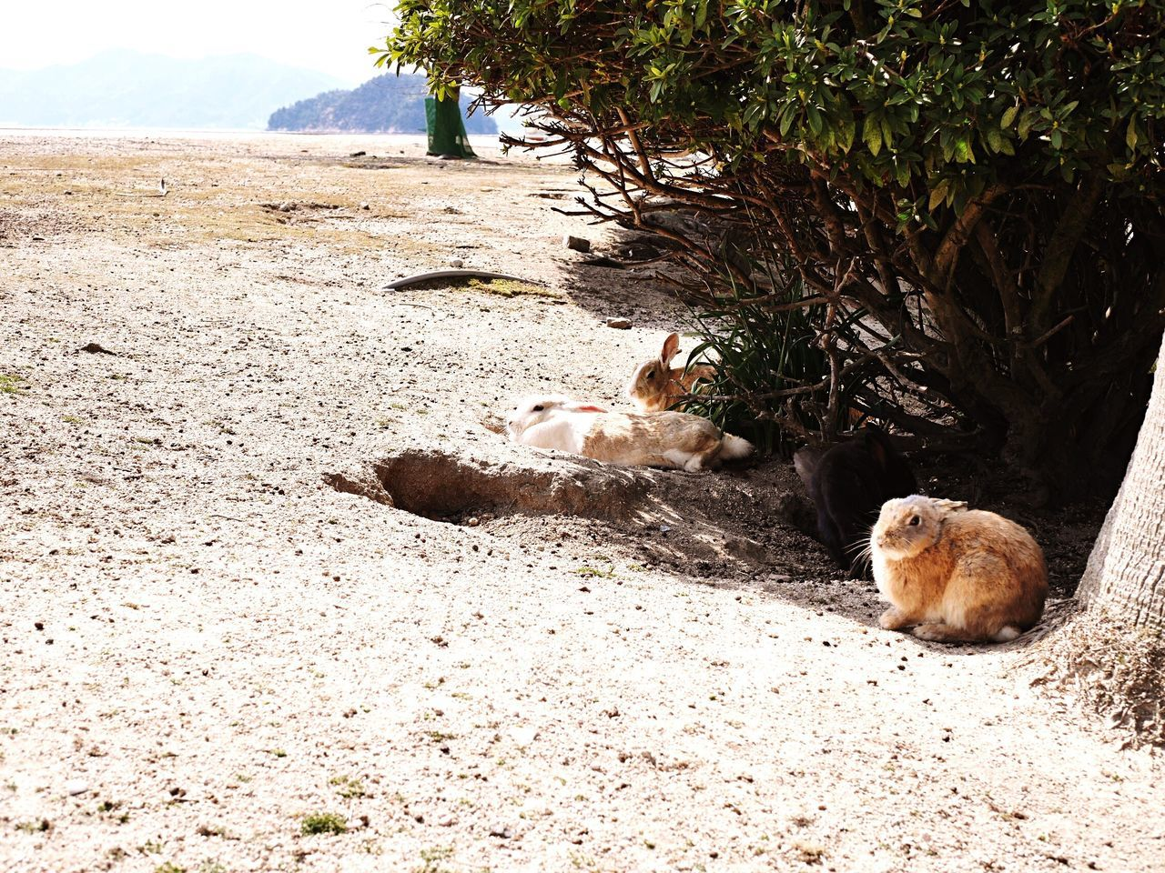 Outdoors Pretty Cute Japanese  Beautiful Nature_collection Nature Photography Nature Animal Themes Animals In The Wild Animals Animal Animal Wildlife Animal Head  Animal Photography Rabbit ❤️ Rabbit Rabbits Island Beautiful Nature Sea And Sky Sea Sand Beach Photography Tree