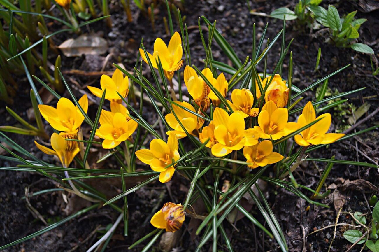 Flower Yellow Fragility Outdoors Nature Freshness Day Petal Field Growth Plant Flower Head No People Beauty In Nature Springtime Crocus Close-up Blooming
