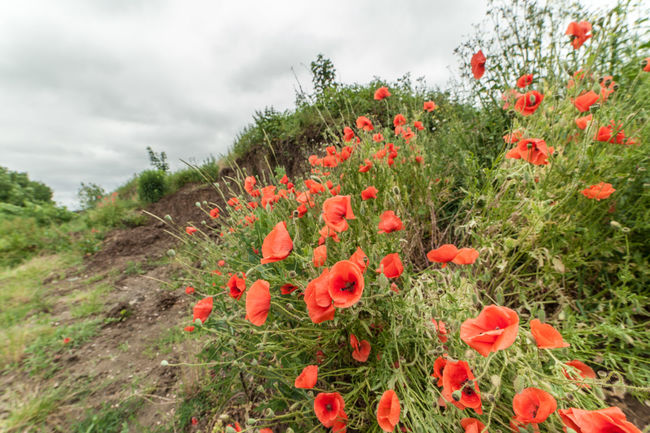Beauty In Nature Blossom Botany Cloud Cloud - Sky Day Field Flower Head Fragility Freshness Garden Growth In Bloom Nature Outdoors Petal Plant Poppy Flowers Red Scenics Sky Southern Germany Springtime Tranquility Wildflower
