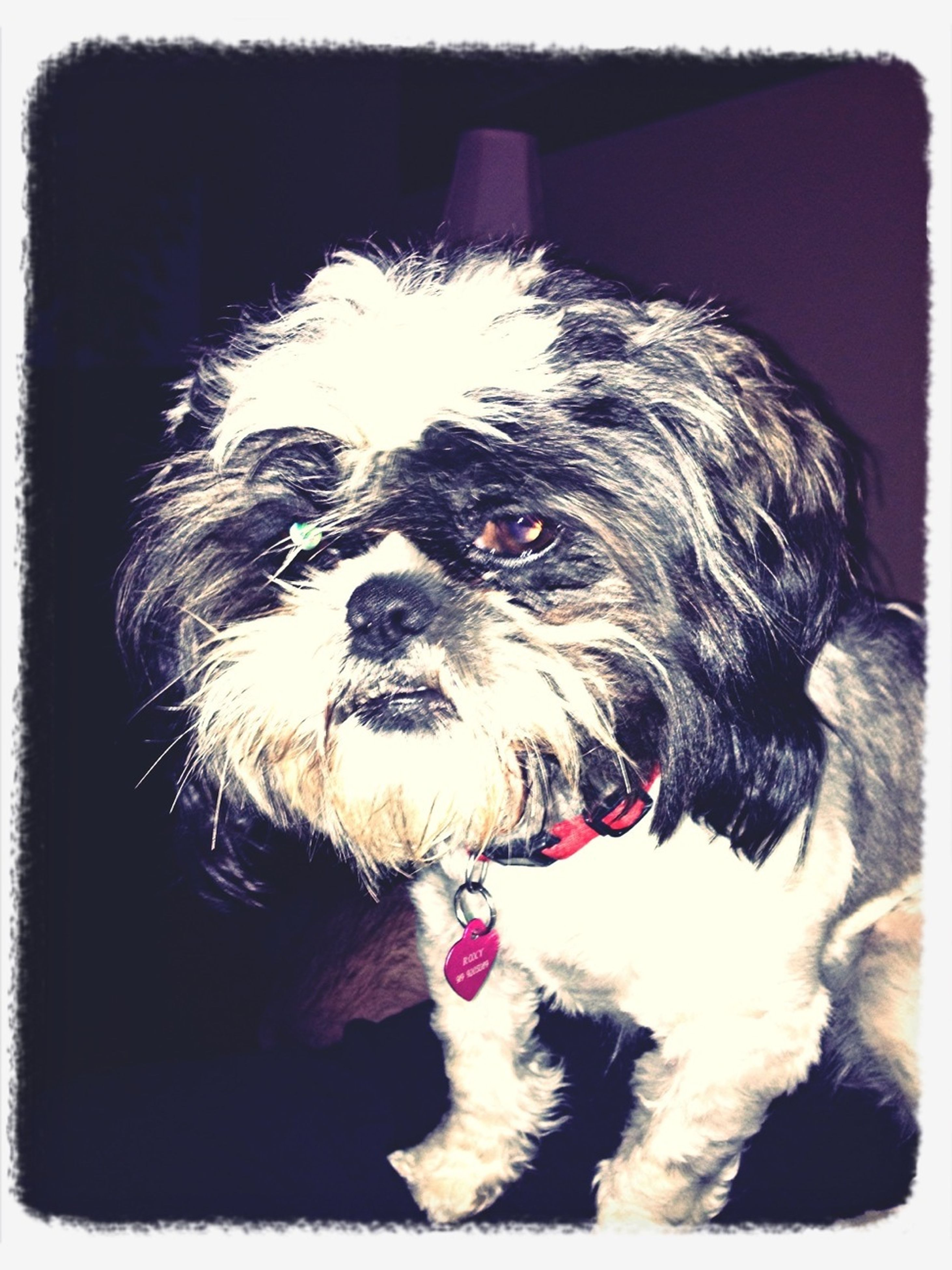 pets, dog, domestic animals, transfer print, one animal, animal themes, auto post production filter, mammal, looking at camera, portrait, indoors, close-up, animal head, home interior, front view, black color, no people, sticking out tongue, mouth open