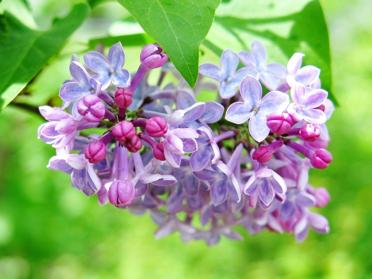 Blossom Of Lilac
