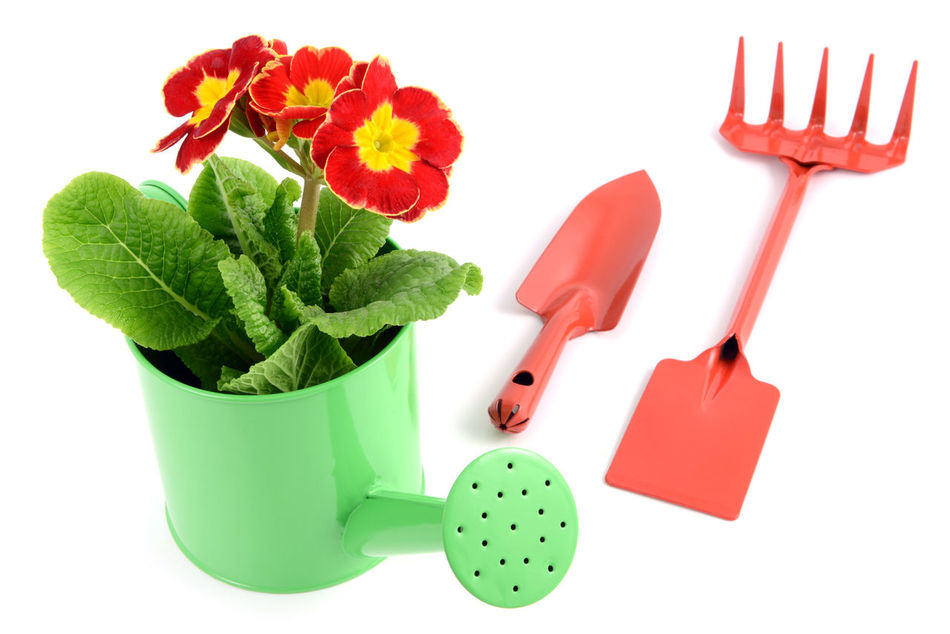 red primula in a water can with gardening tools like fork and shovel around Garden Tools Red Flower Red Primula Primeln Primrose Isolated White Background Gardening Isolated Flowerpot Shovel Watercan