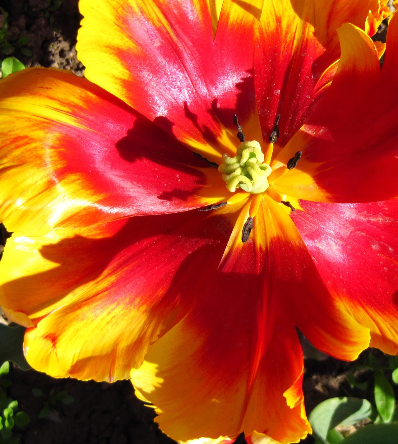 Flower Flower Closeup Pestle Redyellow Tulip Stamen The Core Of The Flower Tulip Blooming Tulip