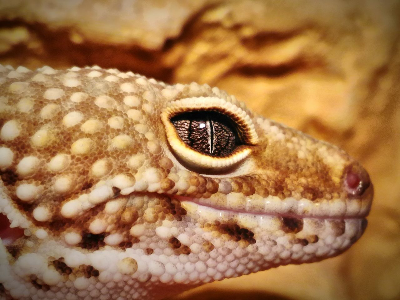 Side View Close-Up Of Leopard Gecko