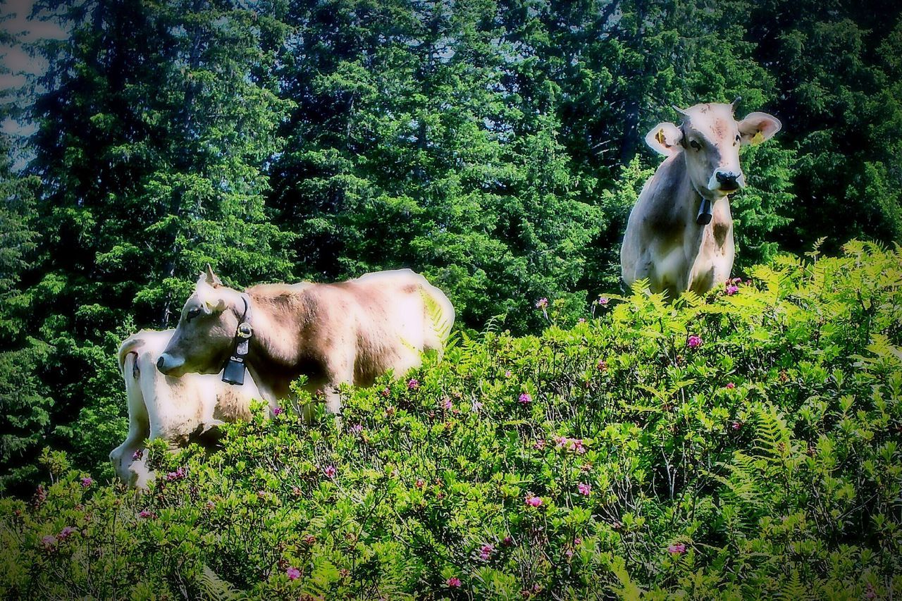 Cow Cows Cows Grazing Animal Themes Day Animal Family Growth Nature Green Color Outdoors No People EyeEmNewHere The Great Outdoors - 2017 EyeEm Awards