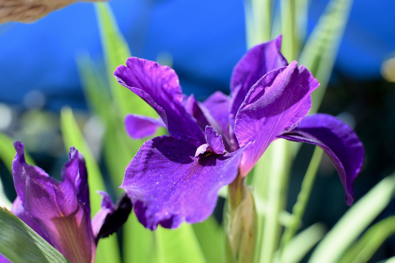 Flower Purple Beauty In Nature Freshness Fragility Nature Petal Close-up Plant No People Flower Head Outdoors Day Growth 35mm Nikon Focus On Foreground