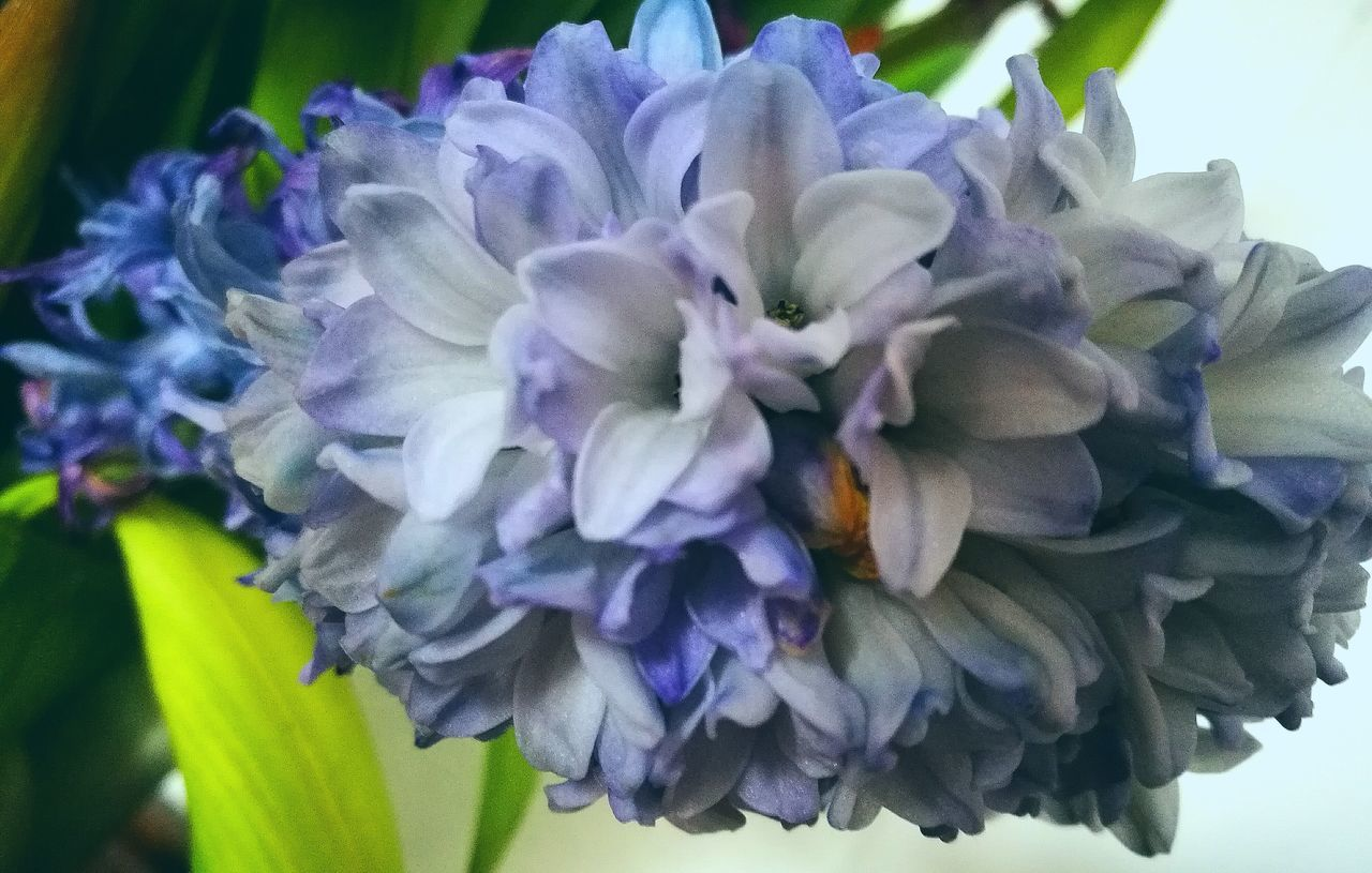 flower, petal, beauty in nature, fragility, flower head, nature, freshness, purple, plant, close-up, growth, no people, day, hydrangea, blooming, hyacinth, outdoors