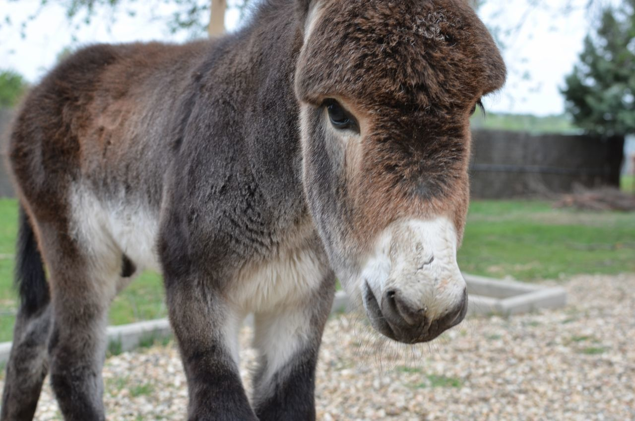 Beautiful stock photos of donkey, Animal Themes, Close-Up, Day, Domestic Animals