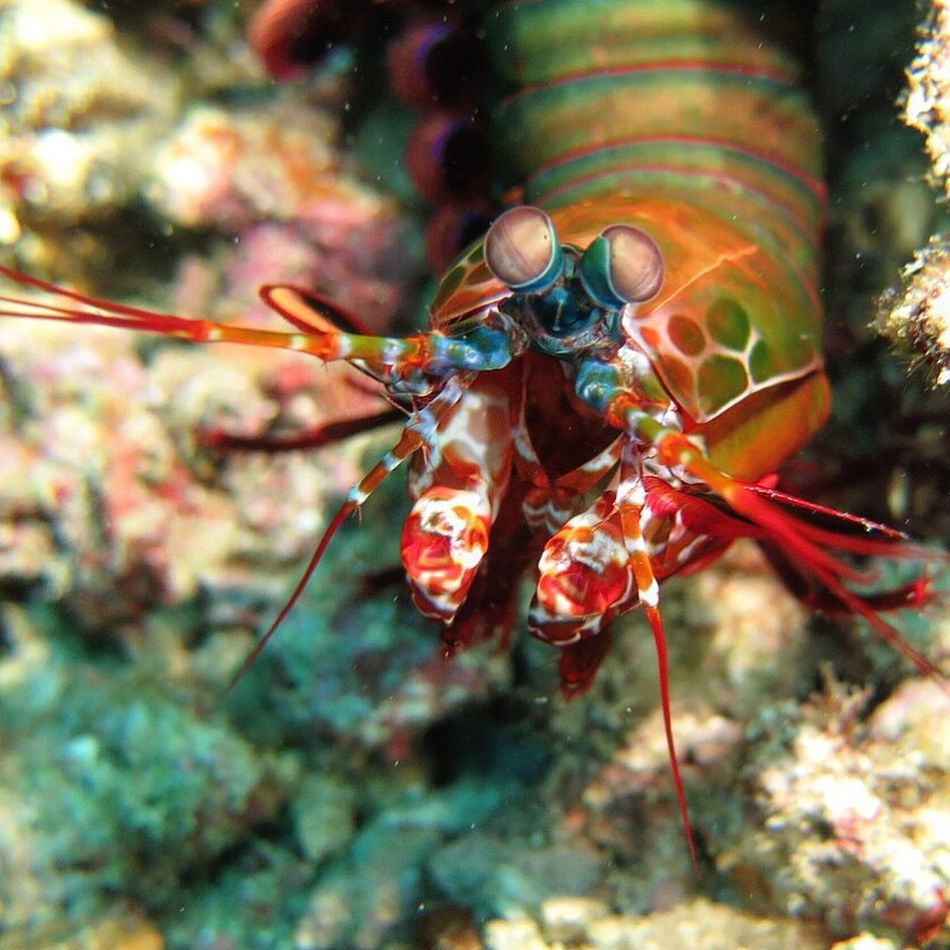 Peacock mantis shrimp in Anilao. Animal Themes Close-up Focus On Foreground Animals In The Wild One Animal Nature Day Animal Wildlife Insect No People Outdoors Divingphotography Philippines Diving Anilao, Batangas Underwater Photography Underwater