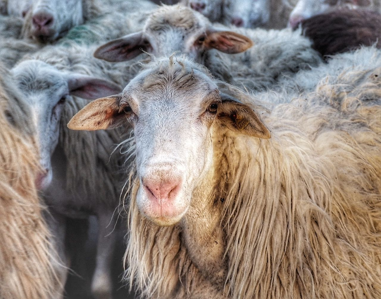 livestock, domestic animals, animal themes, mammal, no people, close-up, day, one animal, outdoors, portrait