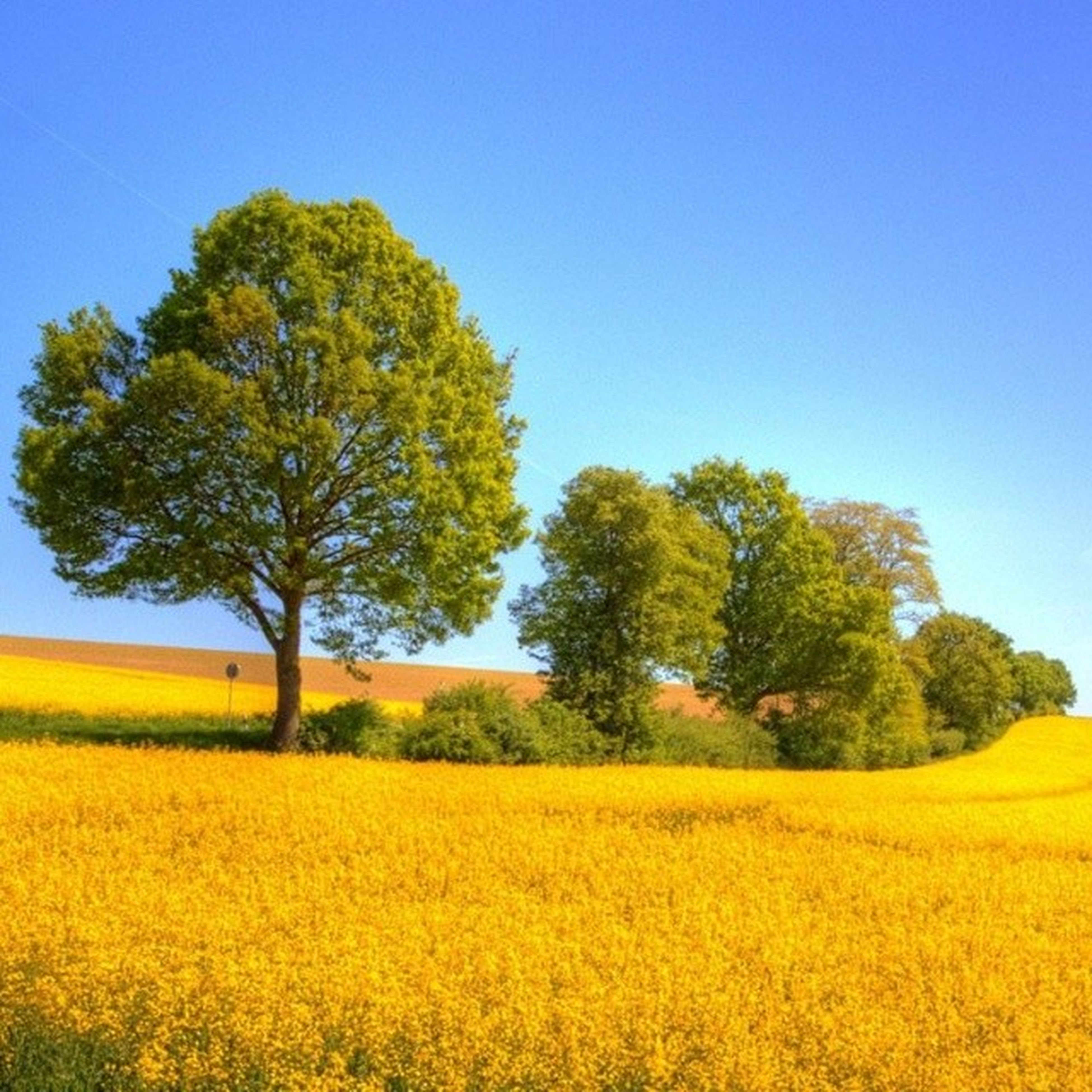 yellow, clear sky, tree, field, growth, beauty in nature, tranquility, tranquil scene, landscape, flower, nature, rural scene, agriculture, scenics, blue, oilseed rape, copy space, freshness, crop, farm