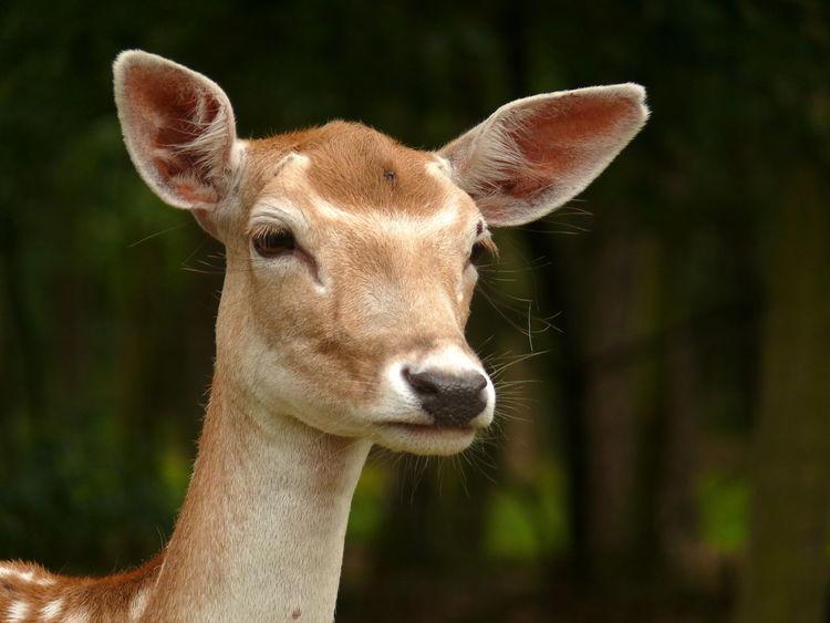Dammhirsch Dammwild Deer Fallow Deer Forest Mammal Mammals Portrait Reh Wald