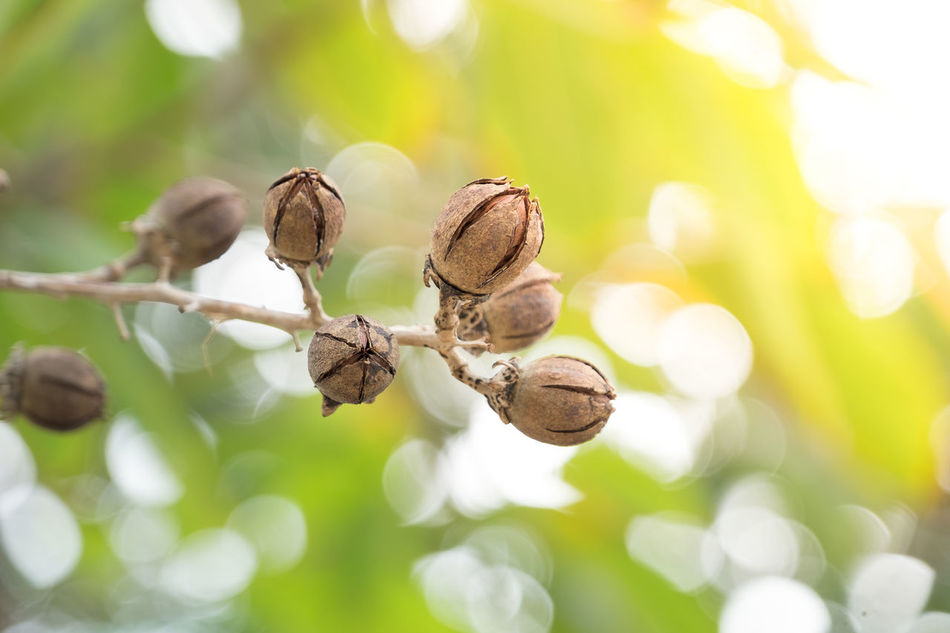 Tree seed on a branch Autumn Beauty In Nature Close-up Day Dried Fruit Leaf Nature No People Outdoors Plant Plant Part Seed Seed Head Seedpod Seeds Seeds Flower Seeds Of Life Tree Seed Tree Seed. !!! Tree Seeds