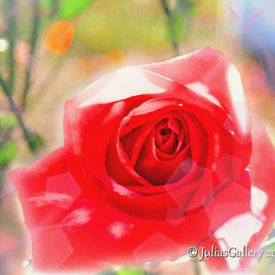 Inner Beauty of a Rose Washington, D. C. EyeEm Flower Eyeemroses Arlington National Cemetary Arlington