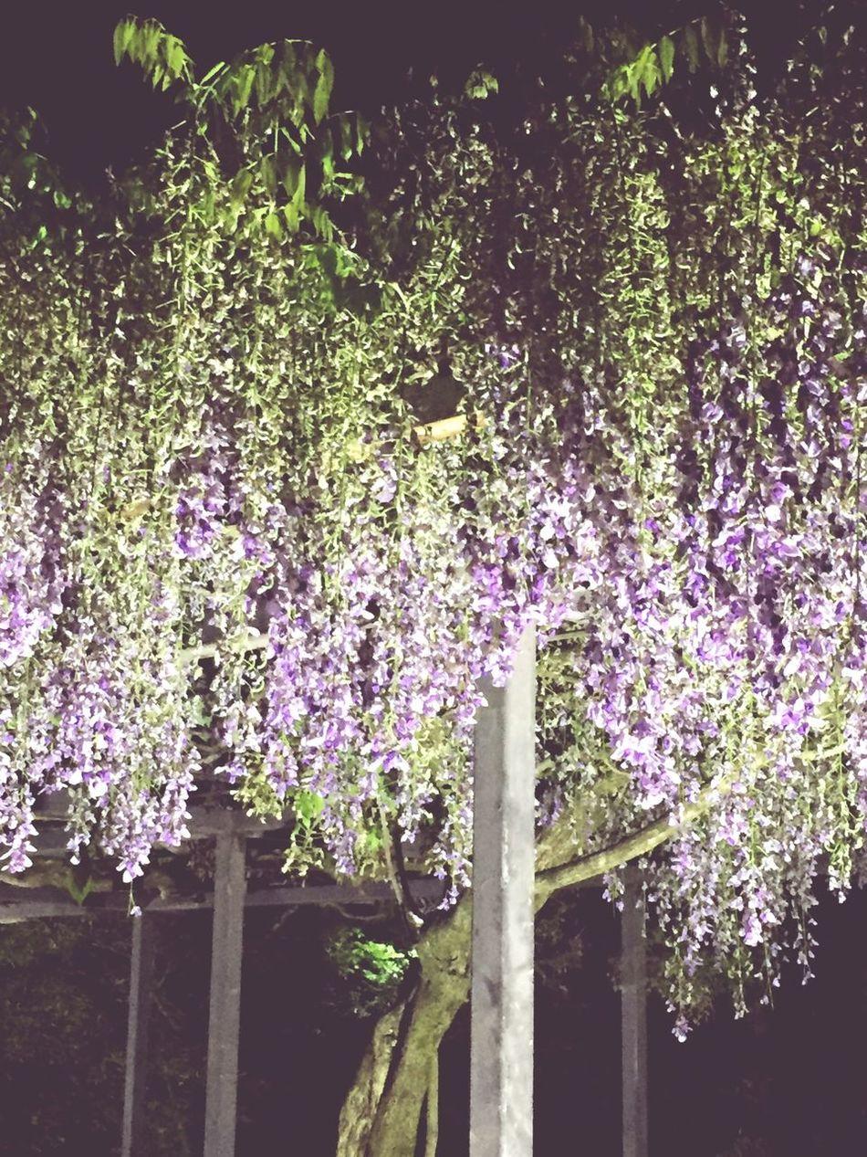 "flower ""fuji"""