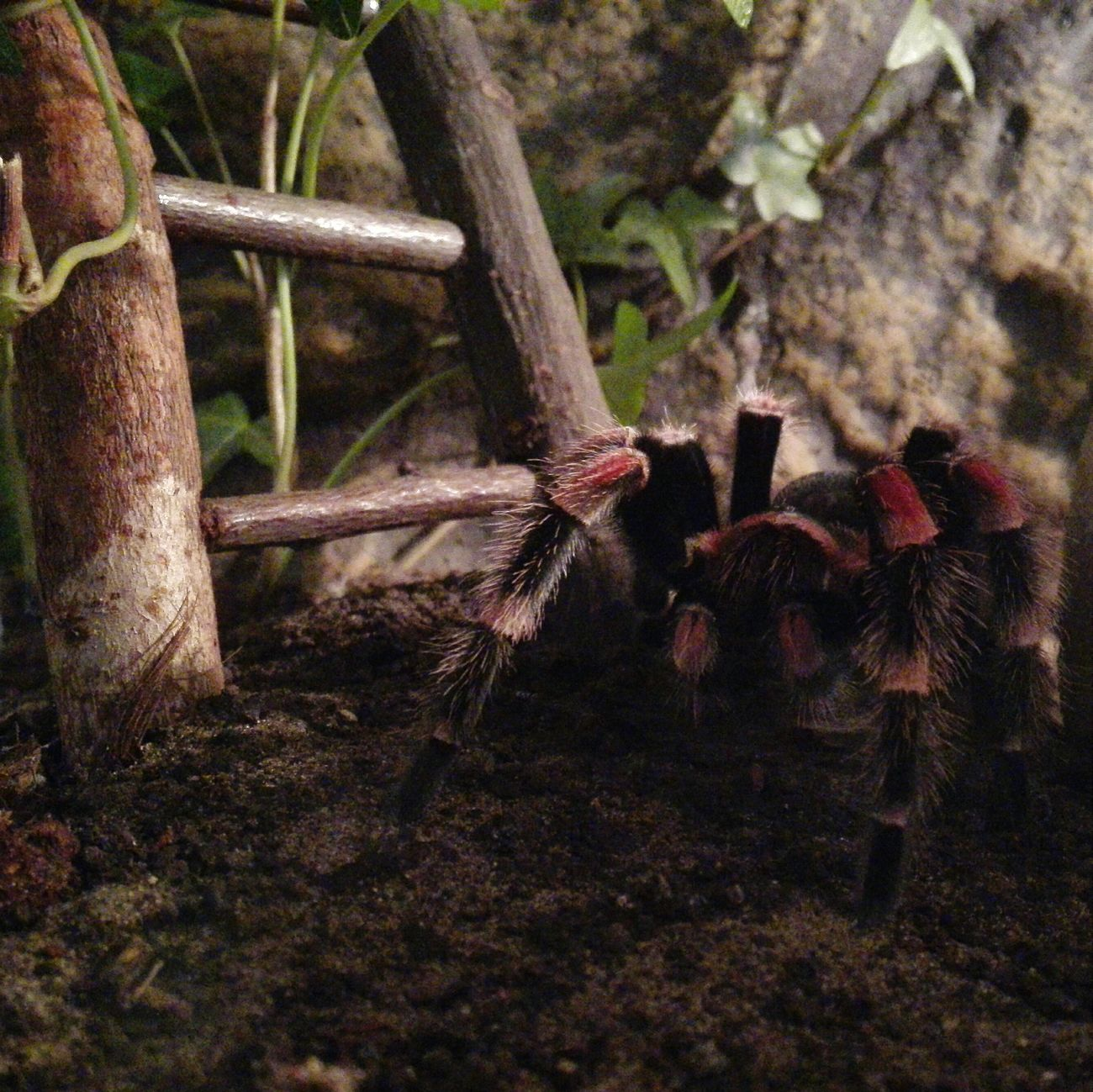 Spinne Marie - Brachypelma Smithi Brachypelma Vogelspinne Tarantula