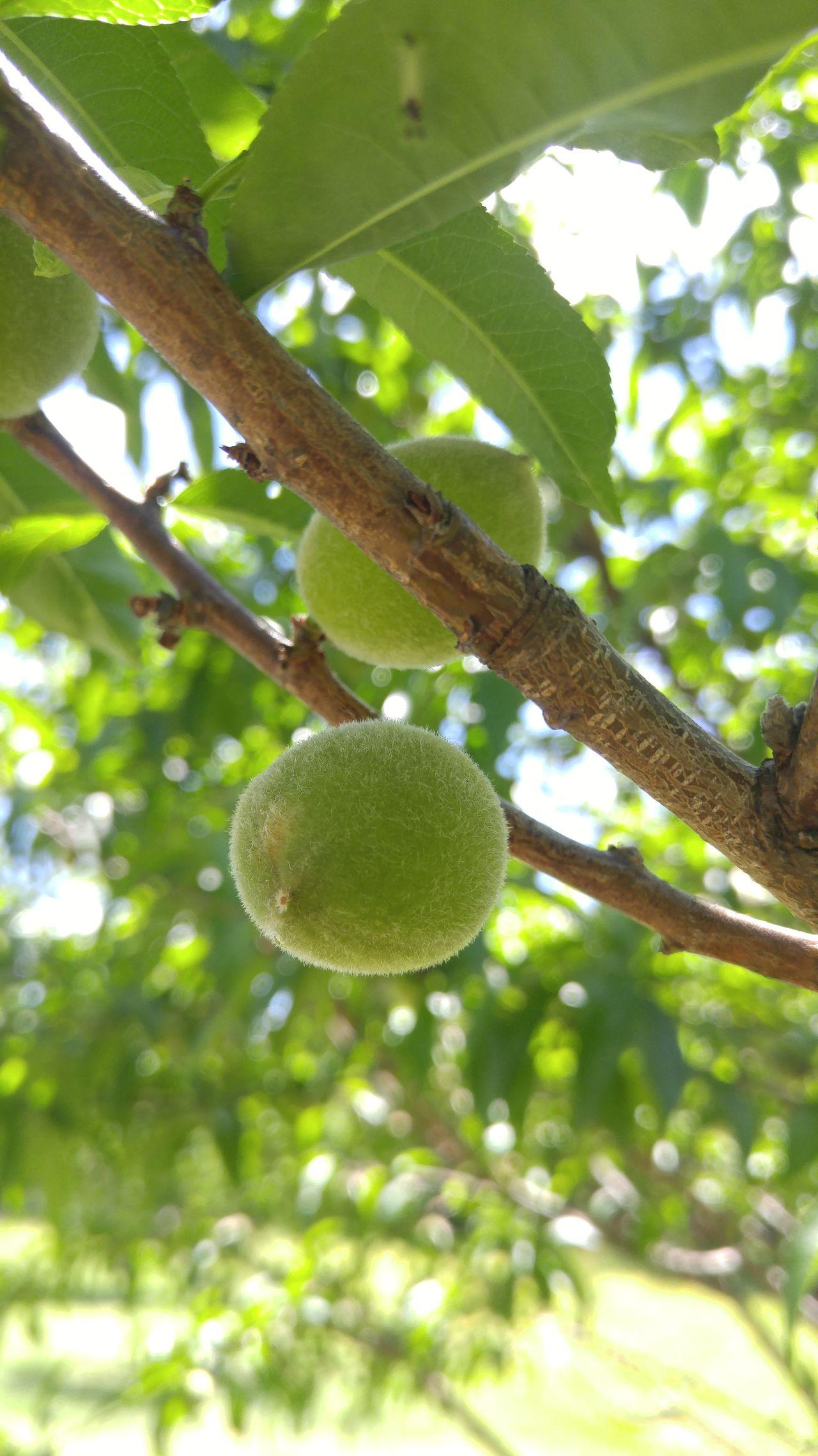 Peach New Life New Growth Nature Photography Outdoor Photography Fruitporn Fruit Garden Photography Fwjphotos Spring Springtime Green Brown Peachfuzz