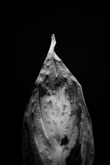 Aged B&w Beauty In Nature Black And White Black Background Close-up Marks Old Leafs Outdoors Photography Still Life StillLifePhotography Wrinkled EyeEmNewHere